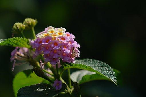Lantanas, Flowers, Pink Flowers, Petals