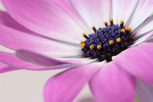 Aster, Flower, Purple Flower, Petals, Purple, Blossom