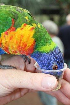 Lorikeet, Parrot, Feed, Loriini, Bird, Animal