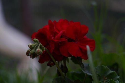 Cranesbill, Flowers, Plant, Geranium, Red Flowers