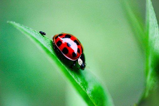 Ladybug, Bug, Insect, Macro