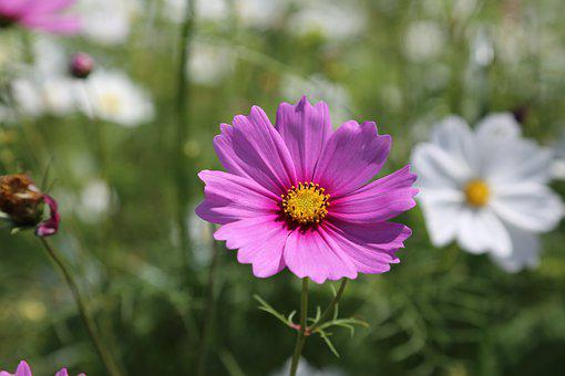 Mexican Aster, Cosmos, Flower, Purple, Meadow, Garden