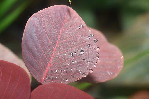 Dewdrops, Morning Dew, Pink Leaves, Plant, Water Drops