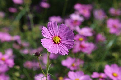 Mexican Aster, Cosmos, Flowers, Purple, Meadow, Garden