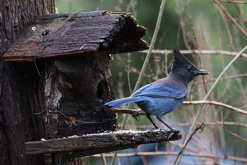Steller's Jay, Blue Jay, Bird, Wildlife, Backyard Birds