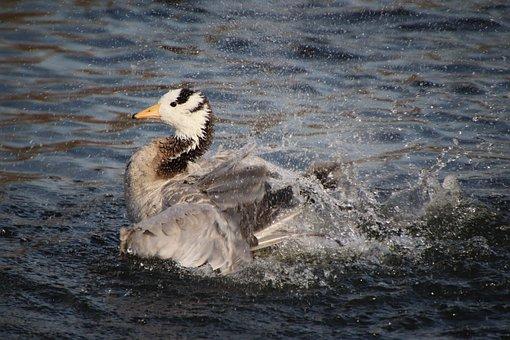 Bar-headed Goose, Water Bird, Goose, Waterfowl