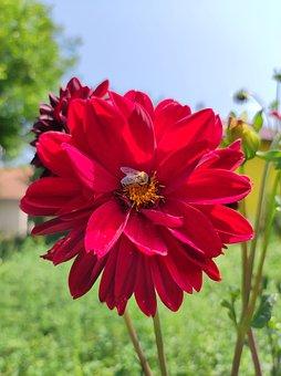 Dahlia, Red Dahlia, Bee, Petals, Red Petals, Insect