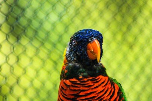 Green Naped Lorikeet, Lory, Bird, Parrot, Exotic
