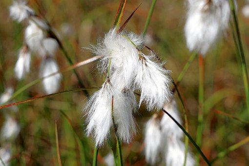 Cotton Grass, Grass, Fluffy, Sour Grass, Sleeve Thread