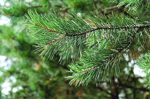 Tree, Spruce, Pine Tree, Branch, Conifer, Coniferous