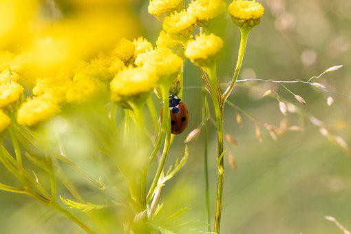 Ladybug, Beetle, Flowers, Tansy, Yellow Flowers, Insect
