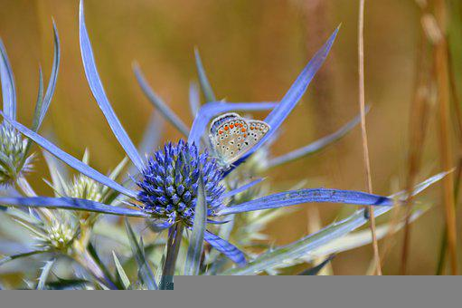 Common Blue Butterfly, Butterfly, Flower, Insect