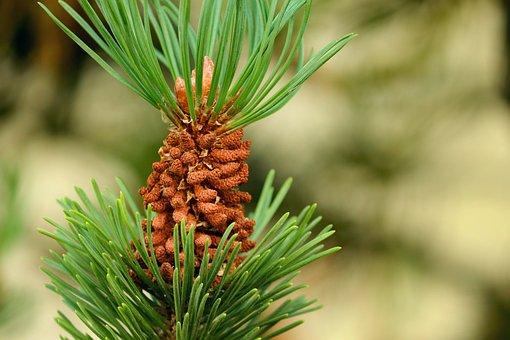 Pine Cone, Conifer, Pine Tree, Green, Boreal Conifer