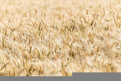 Cereals, Cornfield, Ripe, Agriculture, Summer