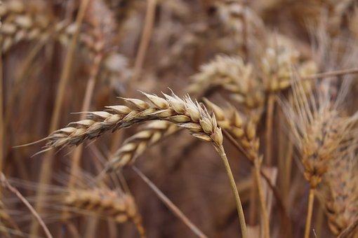 Cereals, Wheat, Field, Wheat Field, Spike, Grain