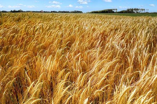 Wheat, Cereals, Field, Farm, Rye, Crop, Plants, Ripe