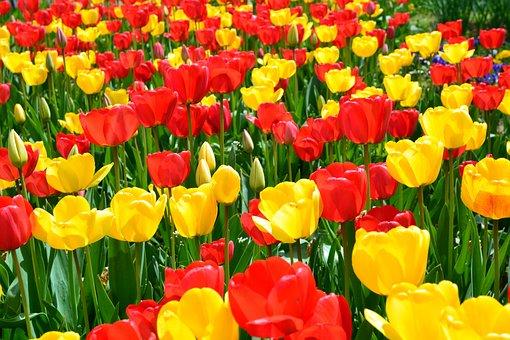 Tulips, Flowers, Field, Yellow Tulips, Red Tulips