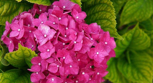 Hydrangeas, Flowers, Pink Hydrangea, Leaves, Garden