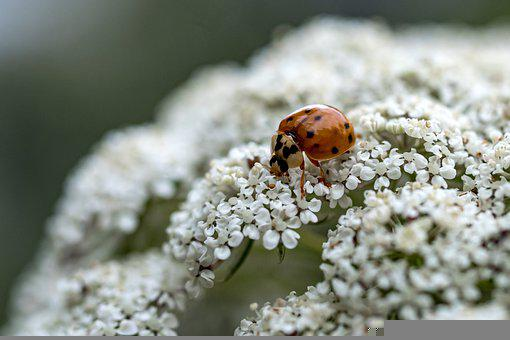 Ladybug, Insect, Flowers, Petals, Pollen, Pollination