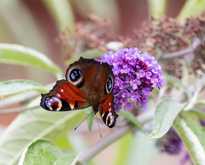 Red Admiral Butterfly, Butterfly, Flowers, Buddleja