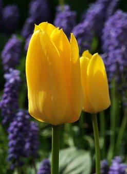 Tulip, Flowers, Petals, Floral, Spring, Garden, Nature
