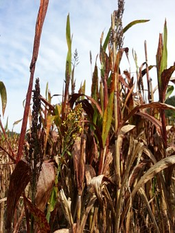 Millet, The Nutritional Value Of Millet, Nature, Autumn