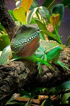 Lizard, Agame, Reptile, Bart-agame, Green, Animal