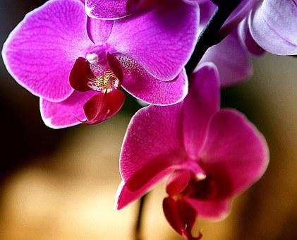 Orchid, Orchis, Flower, Blooming, Flower Room, Nature