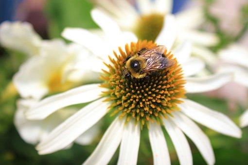 Bee, Bumblebee, Insect, Flower, Nature, Macro, Yellow