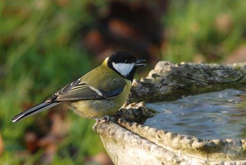Great Tit, Tit, Bird, Drinking, Water, Cistern