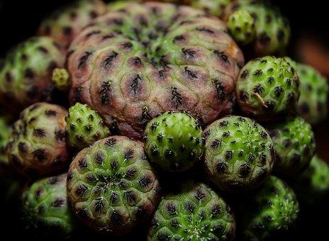 Cactus, Crown Cactus, Lophophora, Plant, Spur, Pointed