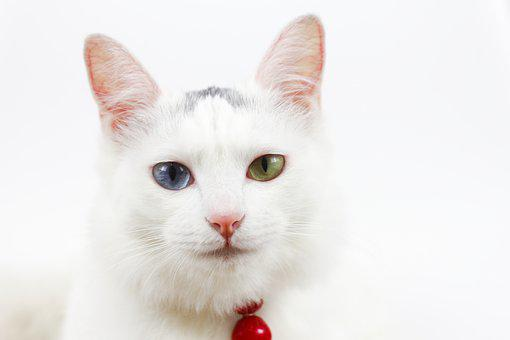 Cat, Bell, Different Colored Eyes