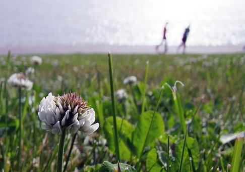 Klee, Blossom, Bloom, Flower, White, Spring, Walk