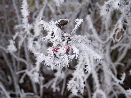 Winter, Wild Rose, Hard Rime, Frost, Not Cold, Frozen