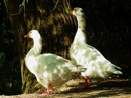 Goose, Duck Bird, Goose Family, House-goose, Swan Goose