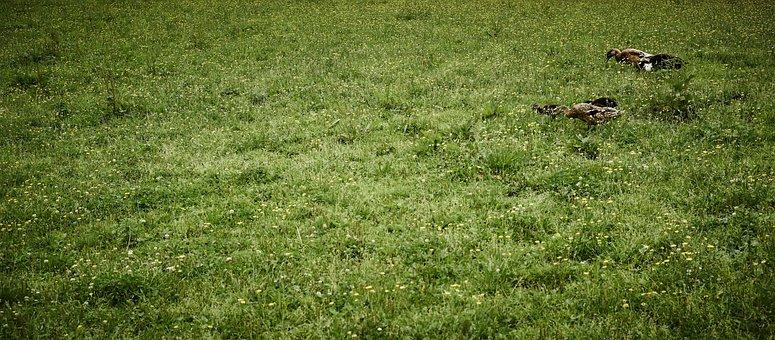 Ducks, Green, Landscape, Grass, Water Bird, Nature
