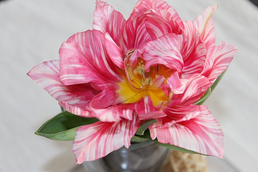 Tulips, Flower, Table Decorations, Pale Pink, Striped