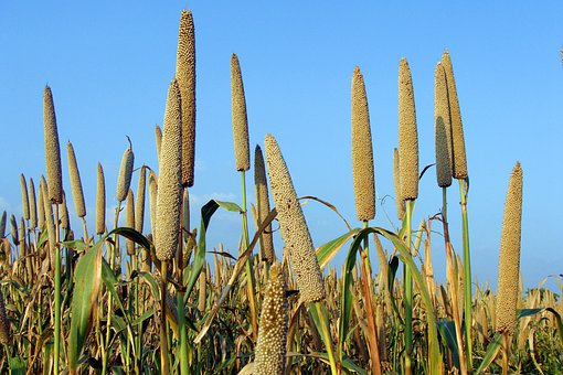 Pearl Millet, Bajra, Cultivation, Lingsugur, Raichur