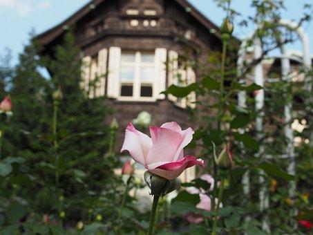 Rose, Flowers, Garden, Western-style, Pink, Flower
