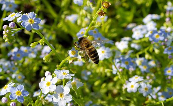 Nots, Flowers, Bee, Pollination, Pollinate, Blue