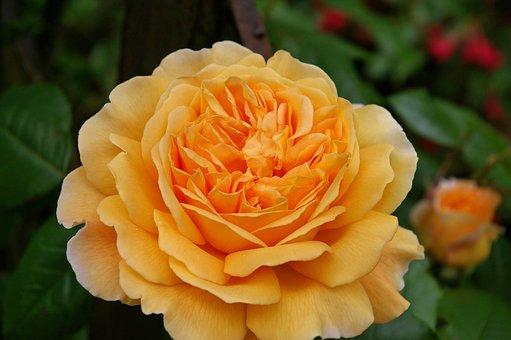 Rose, English Rose, Rose Variety, Garden, Petals, Plant