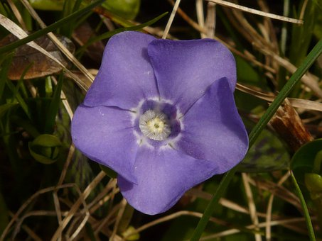 Large Evergreen, Blossom, Bloom, Vinca Major, Plant