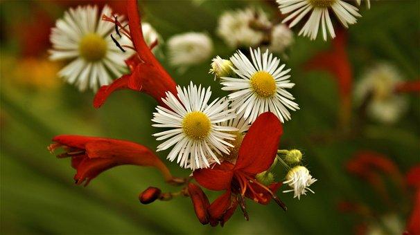 Flowers, Daisies, Garden, White Flowers, Petals, Bloom