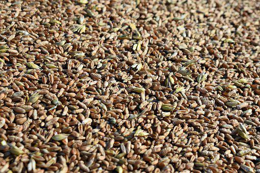 Rye, Grains, Harvest, Food, Cereals, Organic