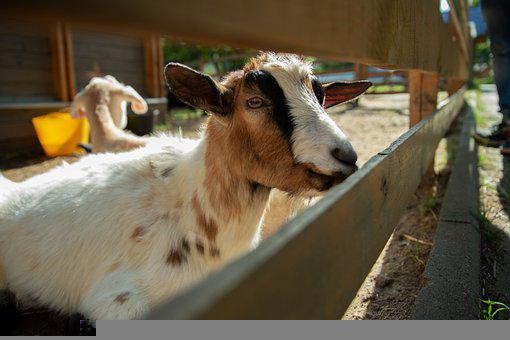Enea, Goat, Vacation, Journey, Moscow, Summer, Nature