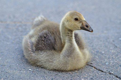 Goose, Gosling, Bird, Fluffy, Cub, Fauna