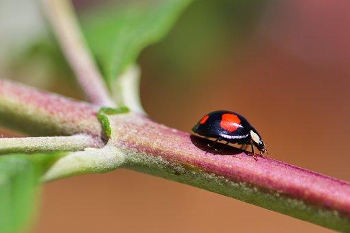 Asian Ladybug, Ladybug, Insect, Ladybird Beetle, Beetle