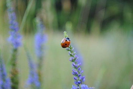 Ladybug, Insect, Flower, Ladybird Beetle, Beetle