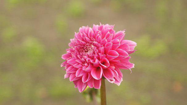 Dahlia, Flower, Pink Dahlia, Pink Flower, Petals