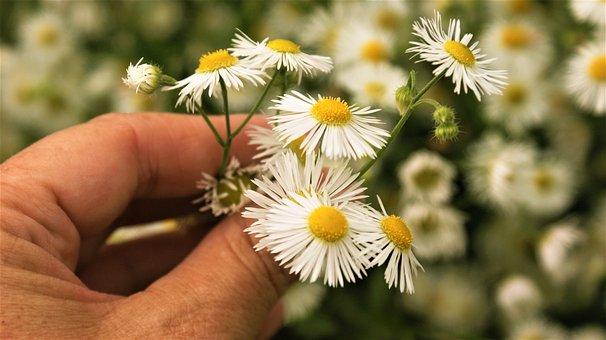 Flowers, Daisies, Garden, Picking, Hand, White Flowers